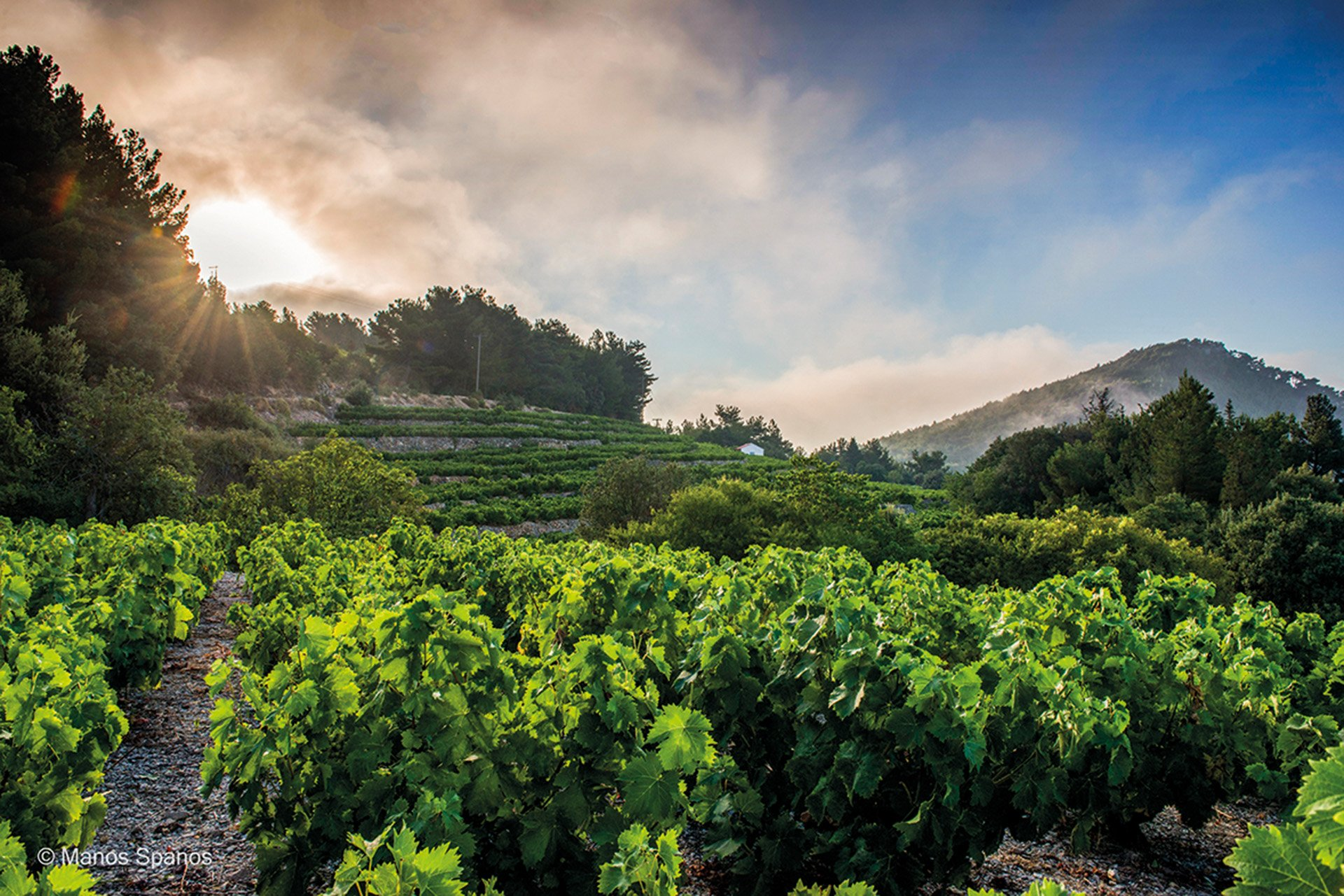 Vineyard at Samos island.