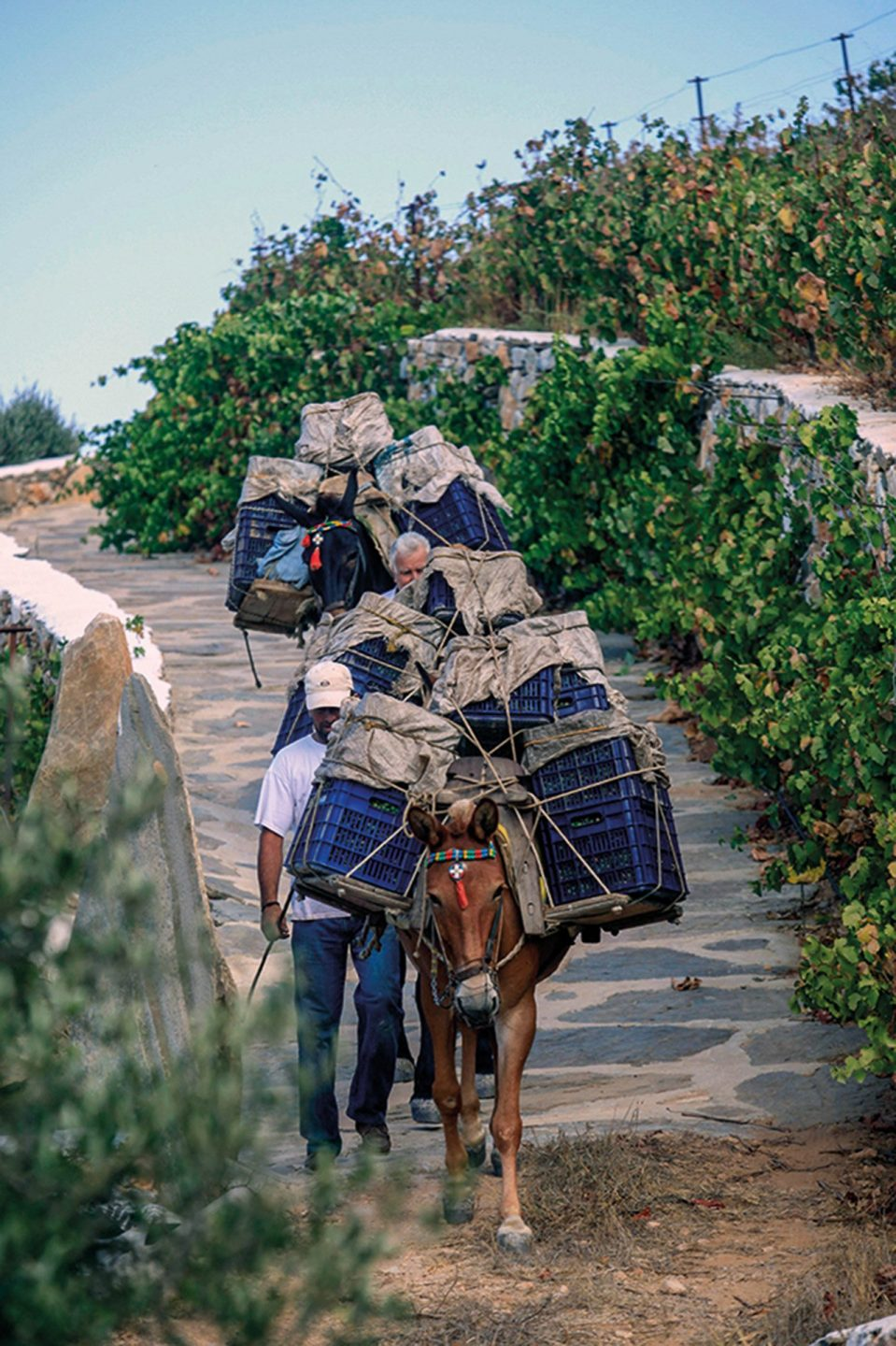 Carrying the grapes with donkeys.