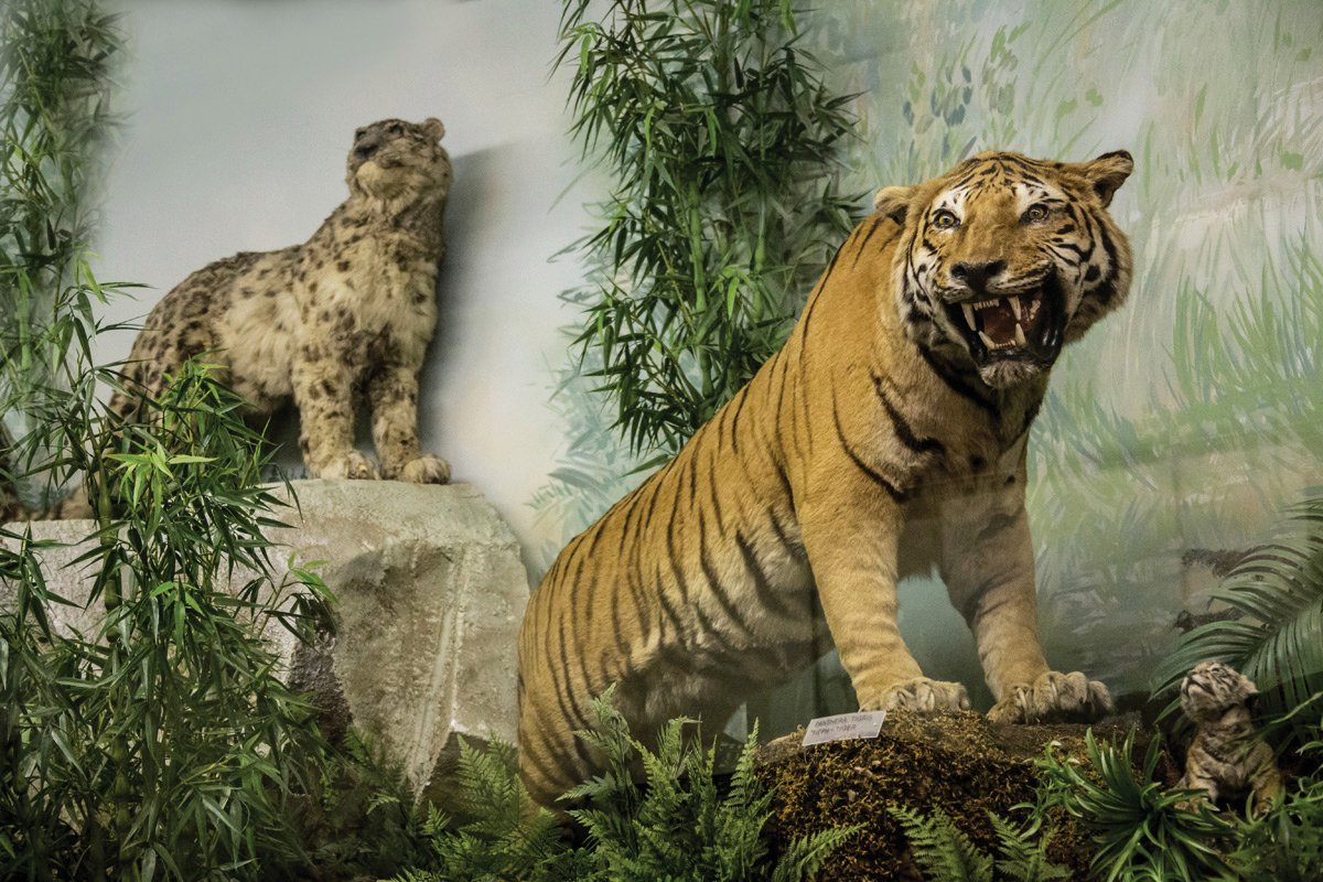 Tigers at the museum